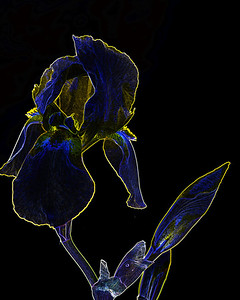 Dark Drawing of Iris Flower 406.2127
