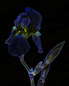 Dark Drawing of Iris Flower 407.2127