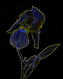 Dark Drawing of Iris Flower 404.2127
