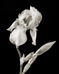 Iris flower in Black and White 204.2127