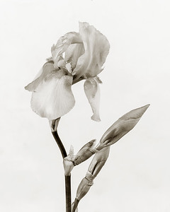Iris flower in Black and White 209.2127