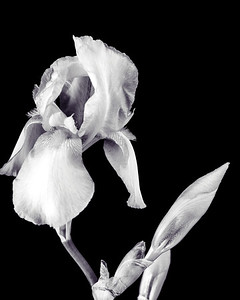 Iris flower in Black and White 206.2127