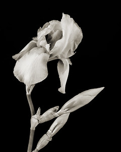 Iris flower in Black and White 210.2127