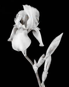 Iris flower in Black and White 205.2127