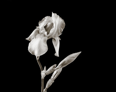 Iris flower in Black and White 202.2127