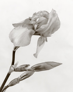 Iris flower in Black and White 208.2127
