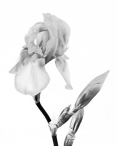 Iris flower in Black and White 207.2127