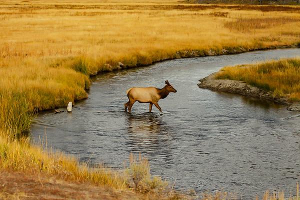 Fall Crossing in Yellowstone
