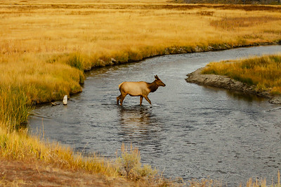 Fall Crossing in Yellowstone