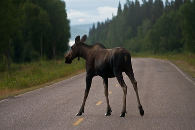 Young moose on the way to Chena Hot Springs