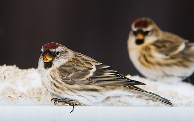 """Week #44, Project 52 - """"The morning lunch bunch…""""  This week's photo is of a couple of Common Redpolls (I believe) having lunch. It was a rather intimate gathering with them about twenty of their closest friends.  Redpolls are one of the few hearty birds that winter over in interior Alaska. When morning light hits they are pretty active around the feeders. I took the opportunity to try out a new wireless remote.  I was standing at the kitchen window drinking coffee as the little fellers braved the cold.  It feels almost like cheating.  But I'll get over it."""