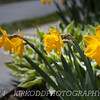 Yellow Daffodil Flowers - Perspective