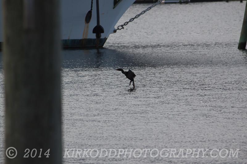 Cormorant Water Landing