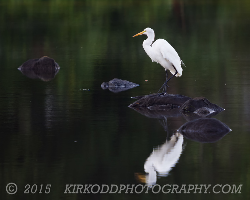 White Egret Reflection