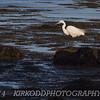 Great White Egret at Avery Point, CT