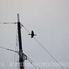 Mast with Cormorant