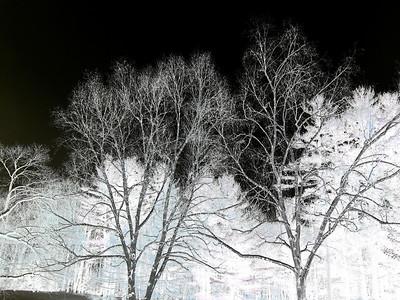 Birch Trees (negative mirror image), Berkshires, Massachusetts 2005
