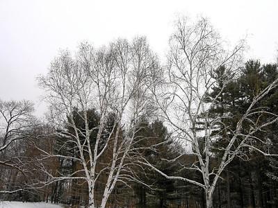 Birch Trees (mirror image), Berkshires, Massachusetts 2005