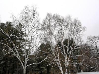 Birch Trees (original), Berkshires, Massachusetts 2005