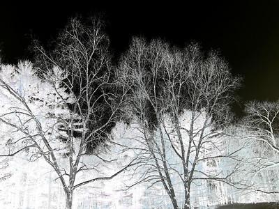 Birch Trees (negative image), Berkshires, Massachusetts 2005