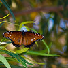 Queen Butterfly on African Sumac