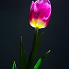 Week #2, Project 52 – Lonely tulip…