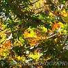 Monarch Leaf