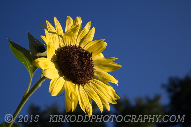 Sunflower in August