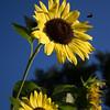 Tasting Sunflowers