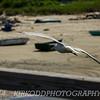 Seagull Glides Over Railing