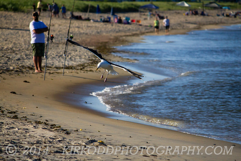 Seagull Landing On Ferry Beach