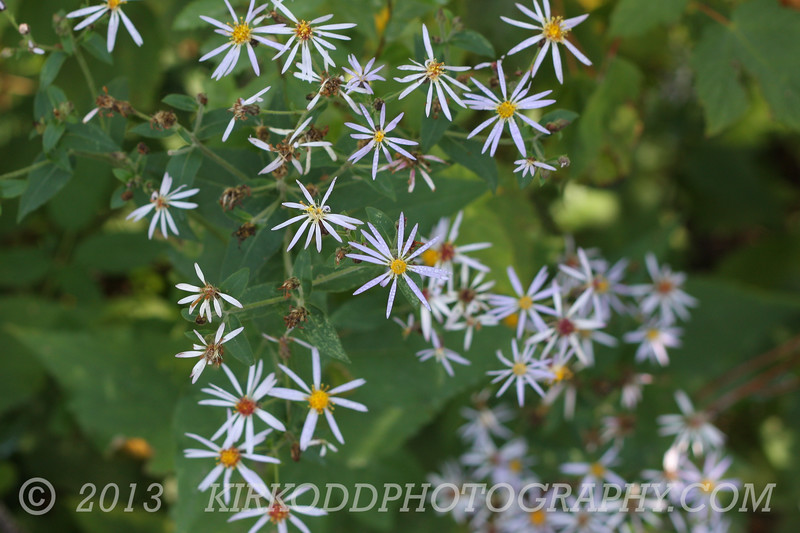 Starflowers