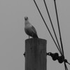 Electric Seagull Black and White
