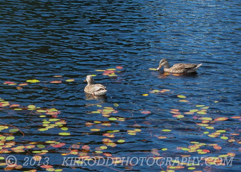 Acadia Mallard Ducks