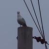 Electric Seagull