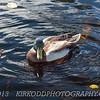 Acadia Mallard Duck