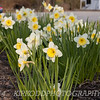 Too Many Daffodils!