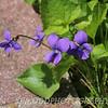 A Violet Cluster
