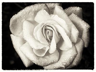 New Rose (2)