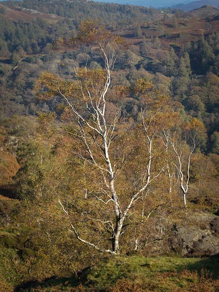 Lake District Autumn Birch Tree - 02
