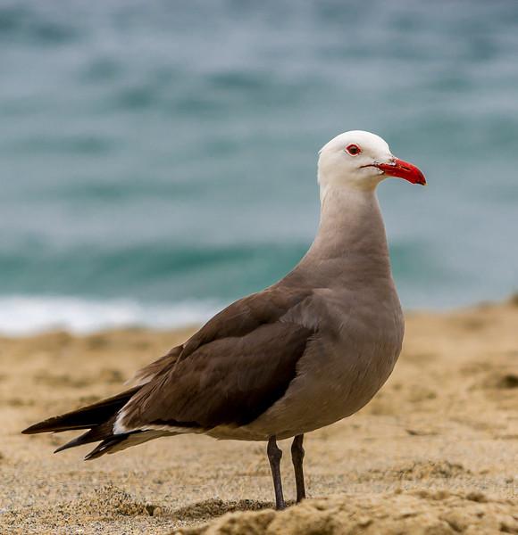 Heerman's Gull at Victoria Beach