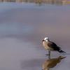Heerman's Gull in the Surf
