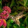 Female Hummingbird on Lantana