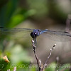 Maine Dragonfly