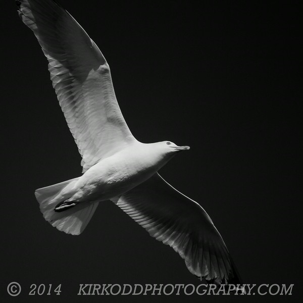Seagull Underglow - Black And White