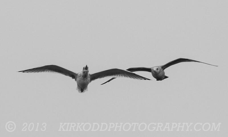 Seagull Birds of Prey
