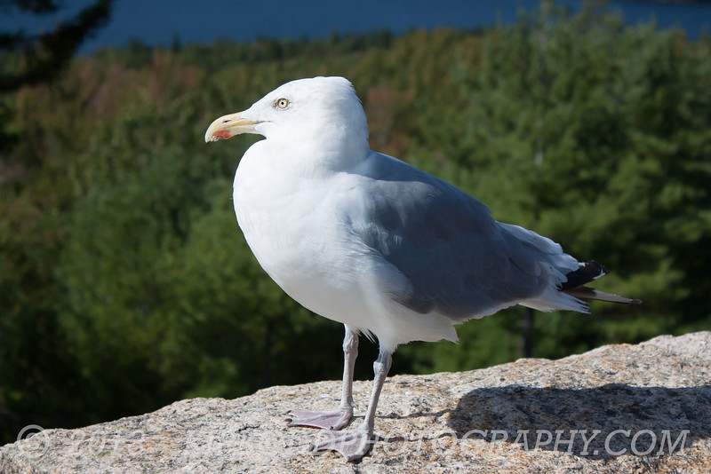 A Gull Sentry
