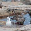 Bath Time for Gulls
