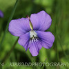 Violet Macro