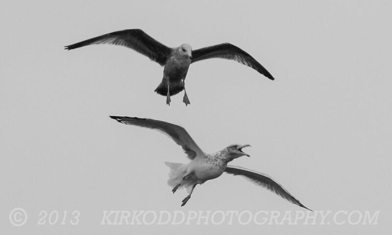 Gull Raptors